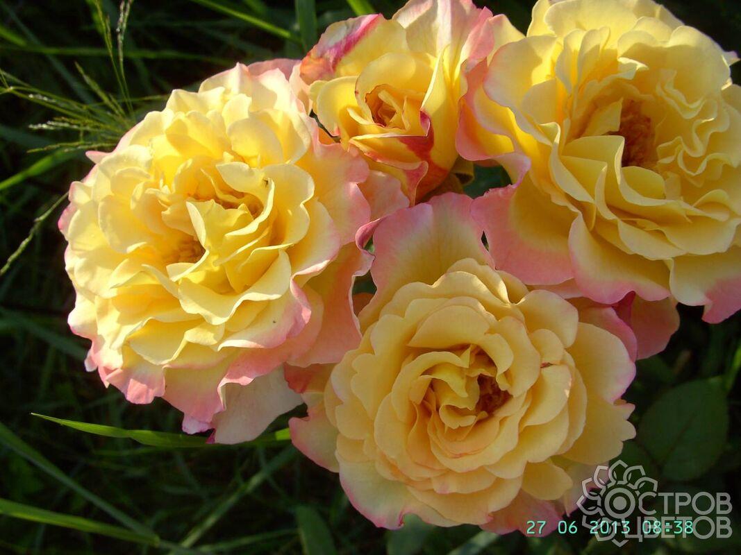 Сорт розы акварель фото описание