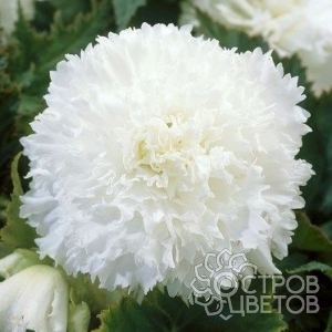 Бегония Fimbriata White