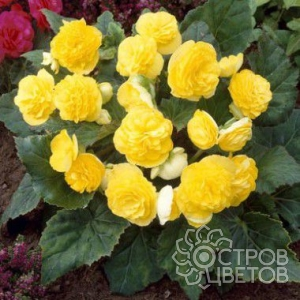Бегония Multiflora Maxima Yellow