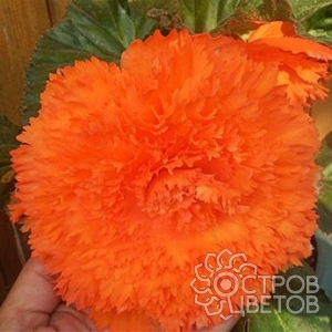 Бегония Fimbriata Orange
